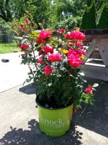 """A """"Knockout"""" rosebush"""