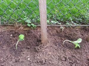 Pumpkin plants