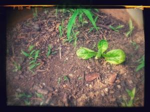 Lonely lettuce
