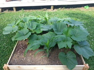 Sugar pumpkins (this photo is already outdated, they are growing like crazy)