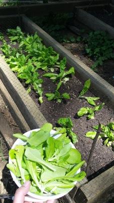 Butter King lettuce