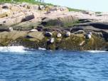 Harbor seals and/or gray seals