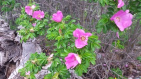 Wild roses growing everywhere