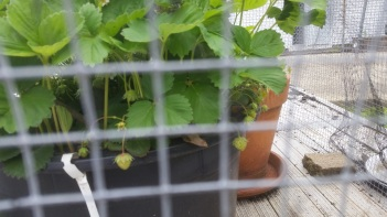 Strawberries forming
