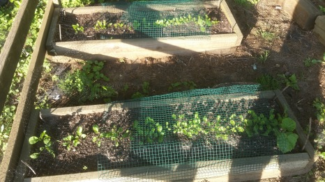 Arugula (front) and romaine lettuce