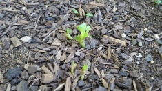 Romaine lettuce regrowing