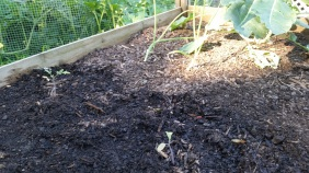 Younger onions, tomato transplants